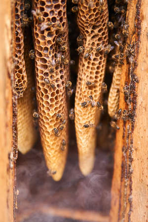 honeycombs of a natural form inside a traditional log hive in smoke from beekeeper smoker