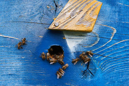 honey bees at the entrance of a painted wooden hive close-up 版權商用圖片