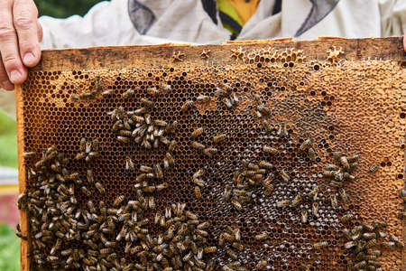 beekeeper holds a frame with dark brood combs and bees crawling on them 版權商用圖片