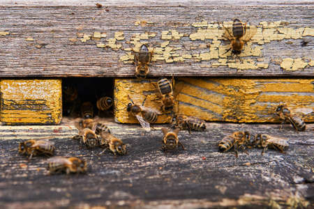 honeybees swarming at the entrance of a painted wooden hive close-up