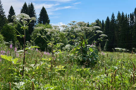poisonous invasive weed Sosnovsky hogweed grows in the meadow