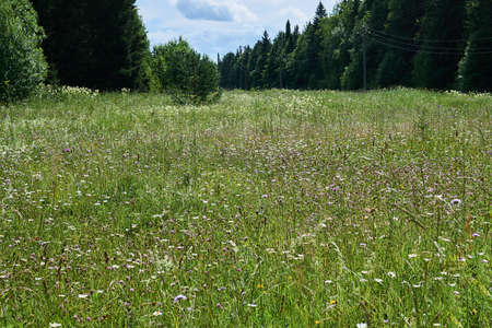 landscape - blooming summer meadow in a clearing among the forest 版權商用圖片