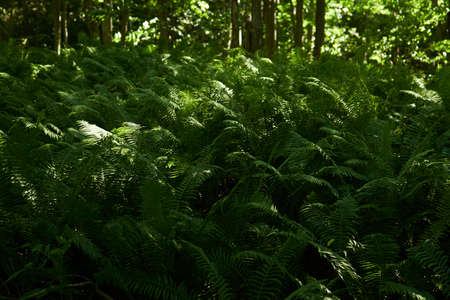 dense thickets of forest ferns in the shade between tree trunks