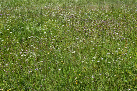 background - blooming july wild meadow of temperate latitudes