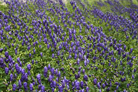 partially blurred natural background - many flowering plants of aconite
