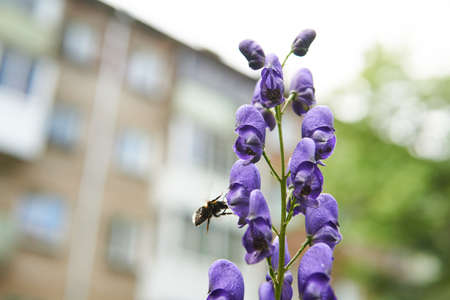 blue aconite flower with a bumblebee flying towards it close-up on blurred urban background 版權商用圖片
