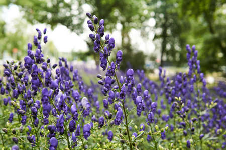 blue inflorescences of aconite on a blurred park background 版權商用圖片