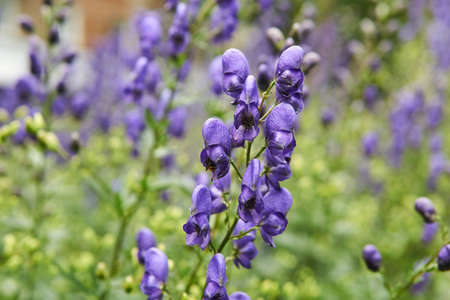 purple inflorescences of aconite on a blurred background