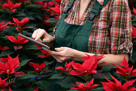 hands of a female agronomist recording the development of poinsettia in the plant nursery on a tablet