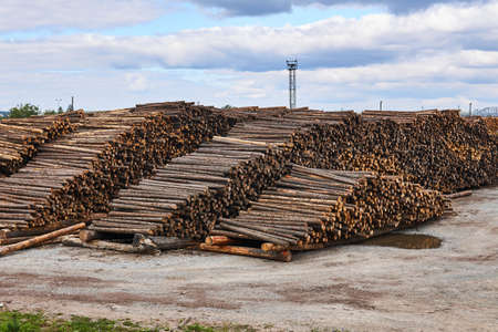huge stacks of pine logs in the timber yard