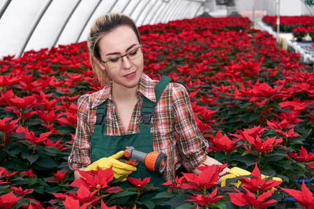 woman gardener in greenhouse prepares to watering poinsettia flowers with spray nozzle