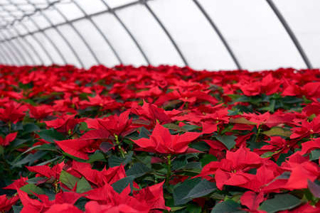 interior of a plant nursery with many red poinsettia flowers in a greenhouse Reklamní fotografie