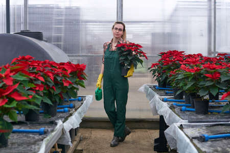 woman gardener walks with a flower pot and a watering can in her hands through a poinsettia plant nursery in an industrial greenhouse complex