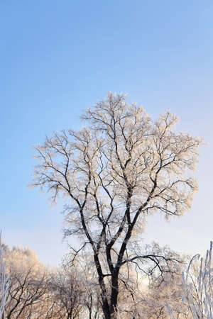 winter tree with branches covered with hoarfrost against a blue sky Reklamní fotografie