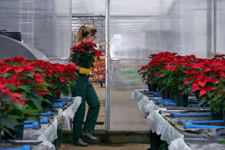 woman gardener enters with flower pots in her hands in a poinsettia plant nursery in an industrial greenhouse complex Reklamní fotografie