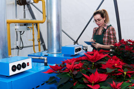 woman agricultural engineer works with equipment in a greenhouse where red poinsettia flowers grow Reklamní fotografie