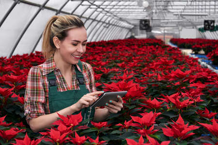 smiling female agricultural worker with tablet among many poinsettias in plant nursery in greenhouse