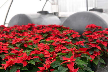 interior of a plant nursery with many red poinsettia flowers in a greenhouse and blurred water tanks in the background