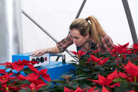 woman gardener works with heating equipment in a greenhouse where red poinsettia flowers grow