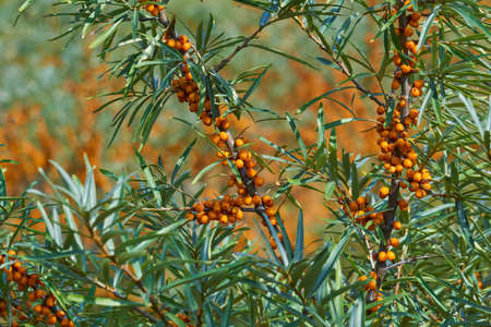 sea buckthorn branches with leaves and orange fruits close up Reklamní fotografie