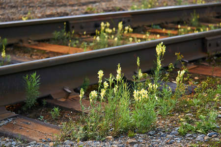 wild toadflax flowers have grown between sleepers and rails on railway tracks