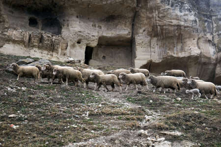 flocks of sheep roam on a hillside under the walls of the abandoned medieval cave town 版權商用圖片