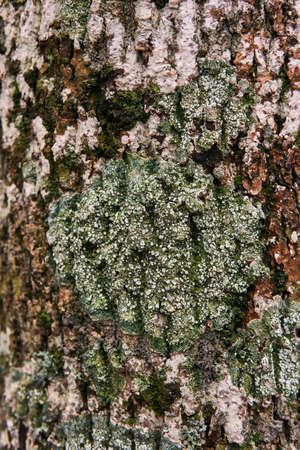 spore-bearing lichen on the tree bark close up