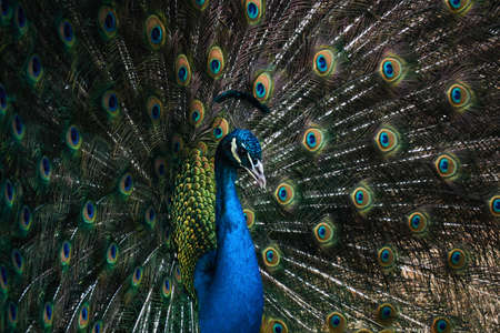 head of a male peafowl displaying his train, occupying the entire frame