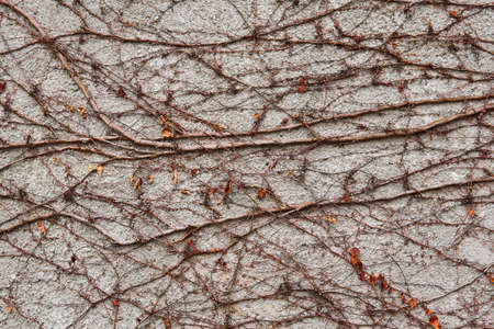background - a stone wall, covered with a natural pattern of dry winter stems of wild vines 스톡 콘텐츠