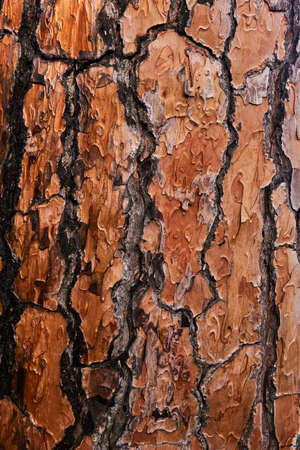 texture of bright orange pine bark on the trunk of a living tree 스톡 콘텐츠