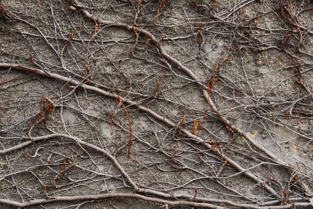 background - stone wall, covered with a natural pattern of dry winter stems of wild vines 스톡 콘텐츠