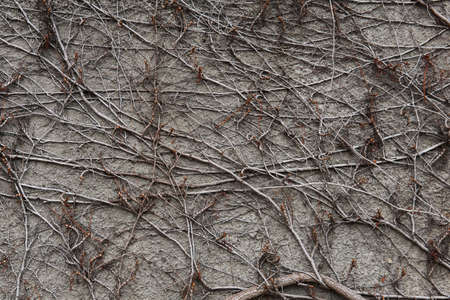 stone wall, covered with a natural pattern of dry winter stems of wild vines 스톡 콘텐츠