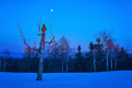 winter northern night landscape - leafless trees under the moon are barely illuminated by the rays of the rising sun 版權商用圖片