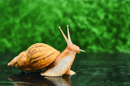 live snail stretches upward from a smooth wet surface against a green blurred background