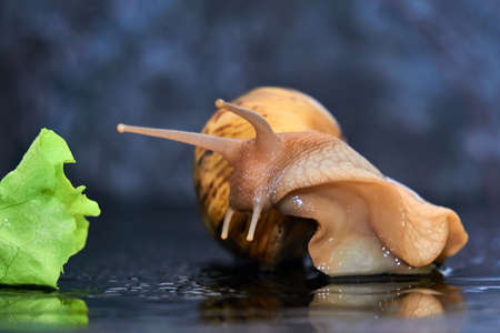 live snail reaching for a green leaf of lettuce close-up on a dark background