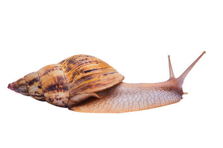 crawling live giant african land snail isolated on white background