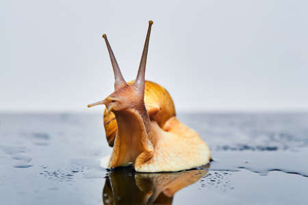 live snail stretches upward from a smooth wet surface against a light background 版權商用圖片