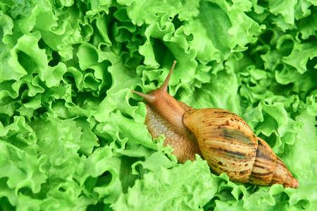 large live snail among green leaves of lettuce