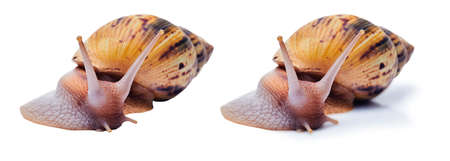two variants of a live giant african land snail on white background - with shadow and isolated 版權商用圖片
