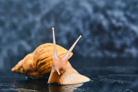 large yellow live snail on a smooth black surface against a dark background