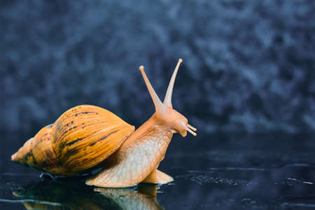 live snail stretches upward from a smooth black surface against a dark background