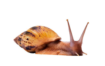 crawling live snail achatina isolated on white background, side view