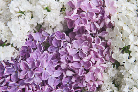 natural background of white and purple blooming lilac flowers close-up