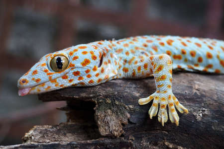 Geckos are unique among lizards in their vocalizations, making chirping sounds in social interactions with other geckos. Habitat in three or house