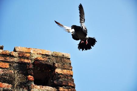 lanner: falcon Stock Photo
