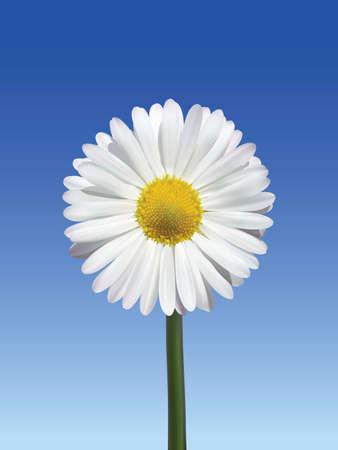 daisy flower: Flower Camomile