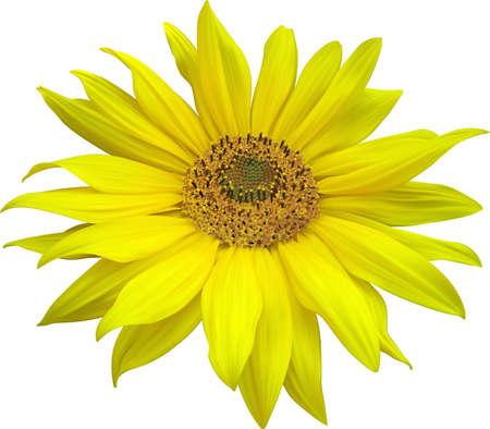 stamen: Sunflowers