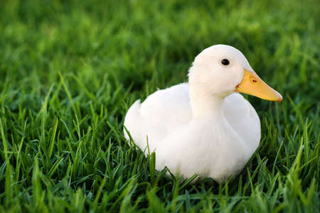 cackle: white duck on a green lawn Stock Photo