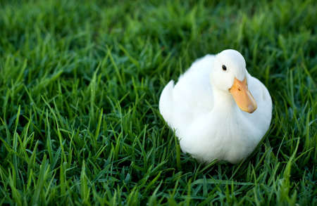 duck on a green lawn photo