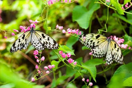 two butterflies feeding on nectar photo